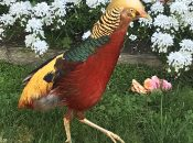 Rare Golden Pheasant Up for Adoption After Being Found Injured