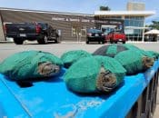 Cute Santa Cruz Turtles All Swaddled Up