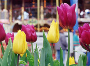 Tulipmania 2019 at Pier 39 | February 9-18