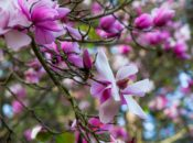 Magnolia Plant Sale | SF Botanical Garden