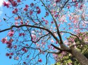 2019 Magnolia Bloom: Last Blossoms of the Season | SF Botanical Garden