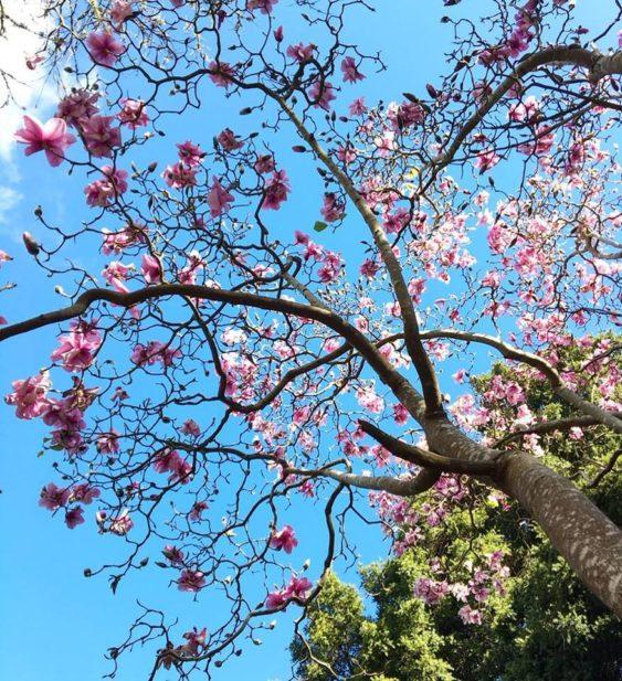 2019 Magnolia Bloom Last Blossoms Of The Season Sf Botanical