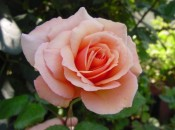 "39th Annual ""Celebration of Old Roses"" 