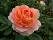 78th Annual Mother's Day Rose Show | Golden Gate Park