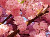 2019 Cherry Blossom Festival | Cupertino