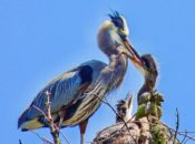 CANCELED: Heron Watch at Stow Lake | April 11-June 13
