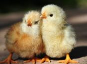 2018 Tour de Coop: Cute Chicks, Beehives & Homesteads | Silicon Valley