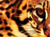 Feline NightLife | California Academy of Sciences
