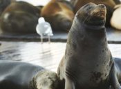 """Sea Lion"" Day: Free Admission to Aquarium of the Bay 