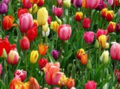 2020 Tulip Day: 100,000 Free Pick-Your-Own Tulips | Union Square