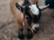 Awesome SF Art Party: Cheese Tasting & Baby Goat   Bernal Heights