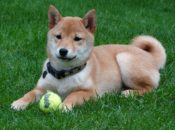 29th Annual Shiba Inu Party: Largest Gathering of Shibas in USA | South SF