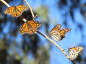 Volunteer at the Monarch Nectar Garden | The Presidio