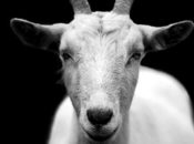 Goat NightLife at Cal Academy of Sciences | SF