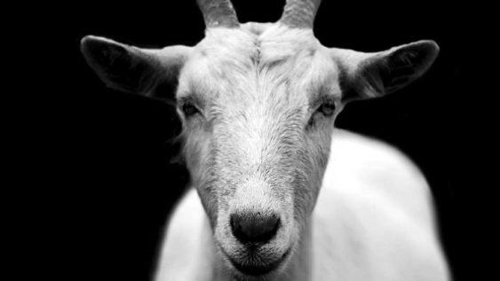 200227 goat 1200x900 563x317