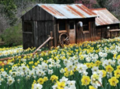 Wildflower Super Bloom Road Trip: Daffodil Hill Open for 2019 | Volcano