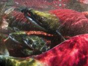 Earth Day Salmon Fest | North Bay