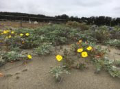The Daly City Dunes History Walk | South SF