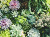 SF Botanical Garden's Free Succulents on Mother's Day | GG Park