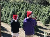 """Bay Area's """"Cut Your Own"""" Christmas Tree Farms"""