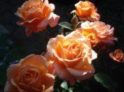 Free Rose Pruning Workshop | SF