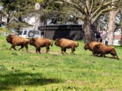 POSTPONED: 5 New Baby Bison Arrive at Golden Gate Park | SF