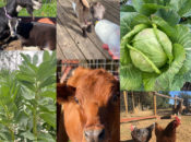 Live Stream Bay Area Farm Tour: Baby Goats + Watch Veggies Grow