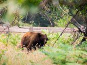 Bears Take Over Yosemite National Park