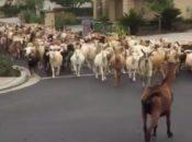200 Goats Escape and Run Wild in San Jose Neighborhood