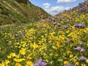 "Webinar: Beauty and the Beast ""California Wildflowers & Climate Change"""