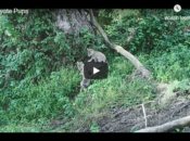 Meet The Presidio's Three Adorable Coyote Puppies
