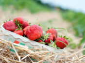Where to Go Berry Picking in the Bay Area