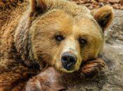 "Lake Tahoe Bear ""Shops"" at Grocery Store"