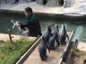 "SF Zoo's Baby Penguins Graduate ""Fish School"""