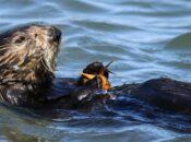 Virtual NightSchool at Cal Academy of Sciences: Sea Otters and the Bay