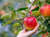 Where to Go Apple Picking in the Bay Area