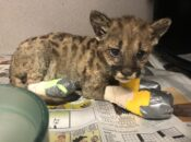 Oakland Zoo Cares for Mountain Lion Cubs Rescued from Wildfire