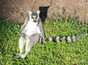 Lemur Theft Suspect Ordered to Stay Away from SF Zoo