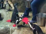 Valentine's Penguins Coming to Cal Academy of Sciences