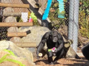 SF Zoo Threw a Lisa Frank Birthday Party for Chimpanzee