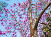 "Last Chance to See SF's Magnificent ""Peak"" Magnolia Bloom (Feb. 10-28)"