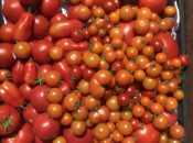 Zoom Class on Tomato Growing w/ Gamble Garden