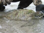 Oakland Zoo Helps Cold-Stunned Texas Sea Turtles