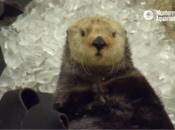 Watch Sea Otter Get a Brain Freeze at Monterey Bay Aquarium
