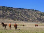 California's Wild Horses Can Be Yours for $1