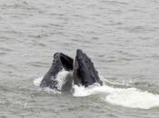 50 Ft. Humpback Whale Seen in SF Bay