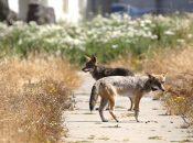 Coyote Pupping Season Begins in The Presidio