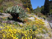"""Check Out Berkeley's Colorful Southern African """"Super Bloom"""""""