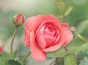 San Francisco Rose Society Virtual Workshop