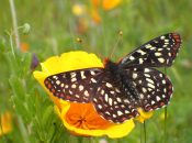 Locally Extinct Butterflies Now Thriving in The Presidio